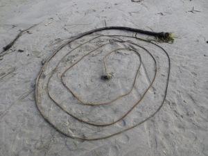spiral seaweed